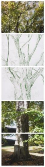"""""""Carpinus betulus, Oxford Botanic Garden"""", 2012"""